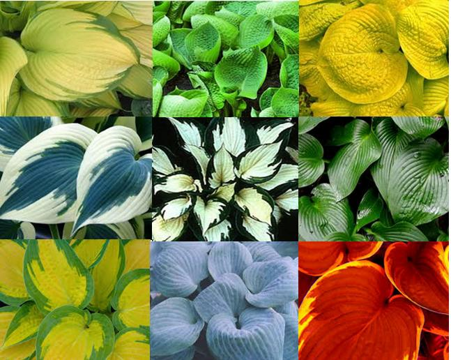 Hosta varities white feather hosta by the characteristic of leaf and flower we could categorizes hosta as following blue hosta green hosta yellow or golden hosta white or partially mightylinksfo