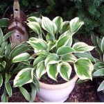 How to plant Hosta in container