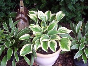 Hostas Are The Good Choice For Container Especially Small Or Mini Hostas Are Very Popular Hostas In Containers Need More Frequent Watering Than Those Grown
