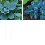 Blue Hostas