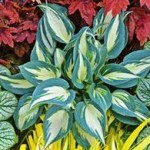 Color change in Hosta