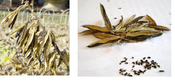 how to grow peonies from seed pods