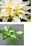 More information and Fact about White Hostas