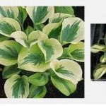 White or Partially white Hosta