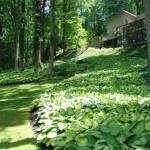 Uses and ideas for Hostas in your garden
