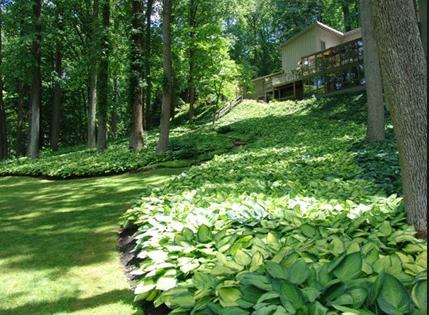 Uses And Ideas For Hostas In Your Garden. Usedofhosta