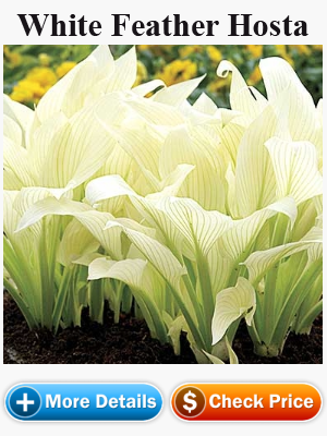 WhiteFeatherHosta
